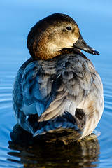 Nice day for ducks. (Chris Hamilton Photography) Tags: westminster bird d7200 duck wildlife nature wildfowl flickr nikon blue