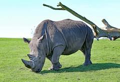 Southern White Rhinoceros (grab a shot) Tags: canon eos 5dmarkiv england uk bewdley westmidlandssafaripark 2018 outdoor animal southernwhiterhino rhinoceros bull male rhino