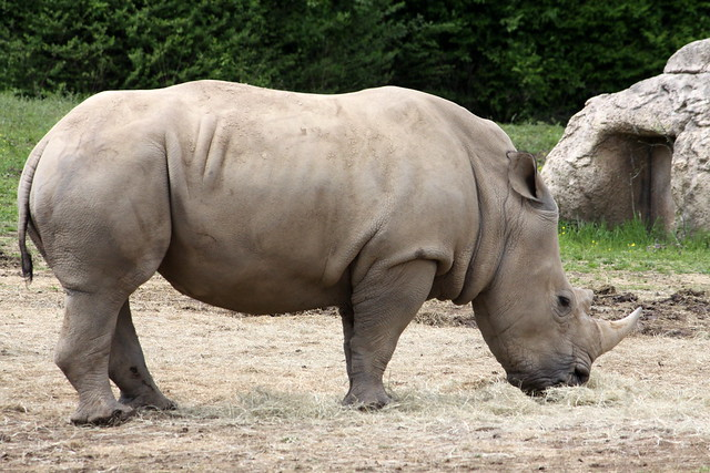 Southern White Rhino - Nashville Zoo