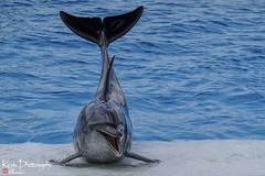 FXT26835 (kevinegng) Tags: okinawachuraumiaquarium okinawa japan 日本 沖縄 美ら海水族館 dolphins performance seacreatures show watershow aquarium animalperformance animal seaanimal seamammals