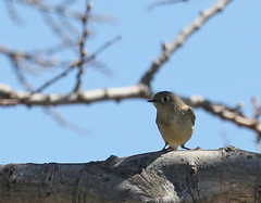 Ruby-crowned Kinglet at Sandy Hook (Tombo Pixels) Tags: earthday bird sandyhook180580 nj newjersey twb1 audubonwalk rubycrownedkinglet g