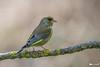 _DSC2574-ps (vilaramon) Tags: verdierdeurope carduelischloris europeangreenfinch passériformes fringillidés