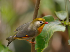 Red-billed Leiothrix (Leiothrix lutea) (SharifUddin59) Tags: leiothrixlutea leiothrix lutea redbilledleiothrix aiearidgetrail aiea aiearidge oahu hawaii bird nature wildlife perched animal march2018