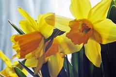 _DSC9240a (alfplant2009) Tags: daffodil johnquill petals trumpet