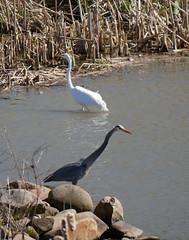 heron & egret 2 (foxtail_1) Tags: panasoniclumixg85 panasonicg85 ardeaherodias greatblueheron ardeaalba greategret egret heron