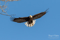 Female Bald Eagle returns to the nest - 1 of 29