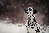 'Winter Wonder.' (JerneiV.) Tags: dalmatian dal mydog mydalmatian spotty spot bokeh winter cold snow white bwdog bw love doglove nikon nikkor youngphotographer