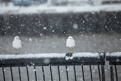 Seagulls hang out near the Hudson River as a nor'easter rolls through Hoboken on March 21, 2018. (apardavila) Tags: hoboken hudsonriver birds noreaster noreasterstorm seagulls snow snowstorm storm weather