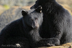 Little Bears (PamsWildImages) Tags: bc britishcolumbia beautiful blackbear canada canon cute cubs pamswildimages pammullins nature naturephotographer wildlife wildlifephotographer vancouverisland