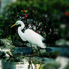 Garza blanca - White Heron (nuska2008) Tags: nuska2008 nanebotas garza naturaleza repdominicana olympussz30mr garzablanca ave bird natura estanque piedras flores vegetación flickr