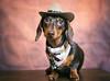 Maisie Moo (cuppyuppycake) Tags: mymaisie smooth haired miniature dachshund puppy cute adorable maisie portrait dog animalblack background