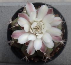 Gymnocalycium anisitsii ssp. damsii (armen.cactus) Tags: gymnocalycium anisitsii damsii flowers blooms cactus succulent