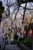 平野神社の魁桜