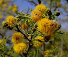Puffball flowers on a sweet acacia (jimsc) Tags: acacia sweetacacia yellow flower blossom bloom spring march desert sonorandesert arizona pimacounty tucson catalina yard backyard plant closeup ngc pentax k50 jimsc