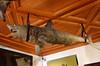 Stuffed Shark [Innsbruck - 23 August 2017] (Doc. Ing.) Tags: 2017 innsbruck tyrol austria at ambrascastle schlossambras archdukeferdinandii chamberofartandcuriosities weird shark stuffed taxidermy ceiling
