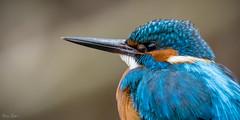 [354] Kingfisher close up (waterman75) Tags: bird birdwatching birds kingfisher eisvogel martinpêcheur deurope alcedo atthis alcedoatthis martinpêcheurdeurope nature natur beautiful