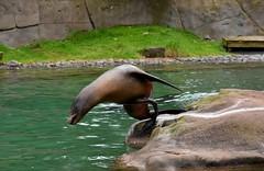 Belfast Zoo (jaffa600) Tags: belfast northenireland uk zoo zoopark animals animalpark animal belfastzoo seal seals sealion sealions californiasealion californiasealions