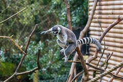 Ring-Tailed Lemur (_John Hikins) Tags: paignton paigntonzoo zoo devon d500 animal ringtailed lemur nikon nikkor nature wildlife torbay torquay branch trees sigma 150600mm 150600c 150600 leap leaping jump jumping action