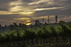 Vigneti a La Morra_Y3A9285 (candido33) Tags: barolo lamorra paesaggidelvino piemonte serradenari alba aurora filari vigne vigneti vitigni