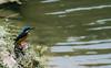 Kingfisher (MashrikFaiyaz) Tags: bird water kingfisher blue yellow green reflection nature natural beauty beautiful nikon d5300 dhaka pond asia southasia bangladesh spring morning march wildlife landscape sudden urban colors colorful light sunlight
