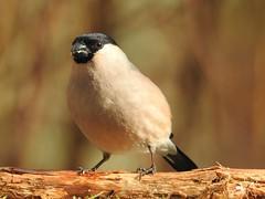 Bullfinch ♀ (Pyrrhula pyrrhula) (eerokiuru) Tags: bullfinch pyrrhulapyrrhula gimpel leevike bird p900 nikoncoolpixp900
