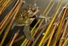 Toad крастава жаба _DSC0654 (Me now0) Tags: park spring afternoon micronikkor40mm macro europe nikond5300 никонд5300 макро юженпарк софиябългарияевропа toad краставажаба