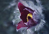 Karenina (cherryspicks (off)) Tags: macro flower nature closeup pulsatilla pasqueflower plant petals karenina