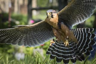 Aplomado Falcon in Flight 1