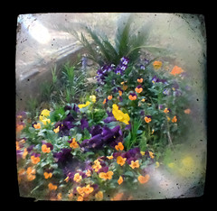 Pansies TtV (Neal3K) Tags: henrycountyga georgia flowers ttv throughbrowniereflexviewfinder square coloryellow blur flare pansies cycad sagopalm