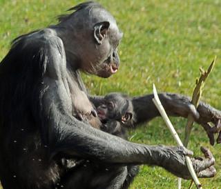 Bonobo Apenheul BB2A1497