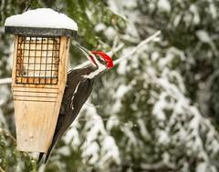 Pileated Woodpecker . . . . (Dr. Farnsworth) Tags: bird large woodpecker pileated male suet feeder sound bill red spot fernridge mi michigan spring april2018
