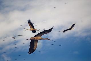 Flight of storks