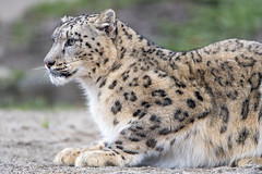 Profile of a posing snow leopard (Tambako the Jaguar) Tags: snowleopard uncia fluffy big wild cat profile portrait lying resting attentive looking posing paws ground basel zoo zolli switzerland nikon d5