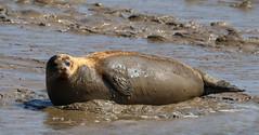 IMG_5824 cr (janharper) Tags: seals crouch roach estuaries leigh camera club