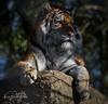 Dragan (yadrad) Tags: tiger cat bigcatsdartmoorzoologicalpark dartmoorzoo carnivore carnivores zoo sparkwell animal ngc