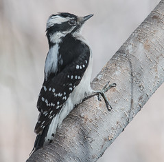 Downy Woodpecker (Picoides pubescens) (fugle) Tags: reno nevada washoeco woodpecker downywoodpecker