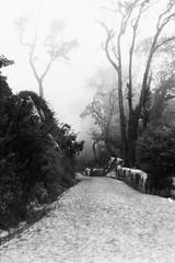 Sintra (Tamar Burduli) Tags: analog film monochrome 35mm grain travel portugal sintra park forest mist fog nature landscape trip trees treeporn tree tamarburduli ngc