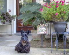 20180318  Céad Míle Fáilte   9983-Edit (Laurie2123) Tags: fujixt2 fujinonxf56mmf12 laurieturnerphotography laurietakespics laurie2123 maggie missmaggie scottie scottishterrier blackscottishterrier blackdog home welcome