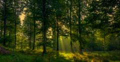 Trees in Bidstrup forest (ibjfoto) Tags: bidstrupforest bidstrupskovene danmark denmark forest ibjensen ibjfoto natur sealand skjoldungelandet woodland nationalpark skov trees træer