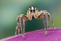 "Plexippus paykulli ♂ (Salticidae) (Bruno Garcia Alvares) Tags: ""plexippuspaykulli"" ""plexippuspaykullimale"" camera naturaleza canon6d 6d mpe65mm mt24ex diydiffuser salticidae jumpingspider jumper aranhasdaamazônia aranhapapamosca saltadeira spider spidersbrazil amazonspider brasil brazil aranha aranhasbrasileiras eyes coloredeyes colors macro macrofotografia macrofotography macromagister macrophotography closeup brunogarciaalvares portrait green nature natureza natures beautiful beauty contrast canon plexippuscfpaykulli"