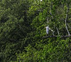 20180218-0I7A3856 (siddharthx) Tags: sungeibulohwetlandreservecanon7dmkiief100400mmf4556lisi singapore sg sungeibulohwetlandreserve canon7dmkii ef100400mmf4556lisiiusm nature landscape tree water wildlife migratorybirds vulnerable mangroves wetlands marsh nparksbuzz greyheron heron