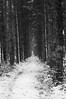 A Snowy Path in a Tunnel of Pine (Maximus Viridius) Tags: snow snowscape forest pentax k3 okehampton devon woods trees pine monochrome