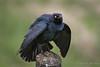 Brewer's Blackbird (Turk Images) Tags: aspenparkland beaverhilllakearea brewersblackbird euphaguscyanocephalus agriculture alberta brbl birds blackbirds icteridae prairie spring