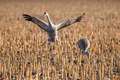_D855678 (jrash168) Tags: sandhillcranes birds cranes nebraska wildlife nikon d850