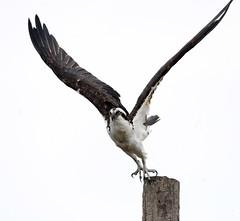 2018 Birds of the Mississippi River Delta (11) (maskirovka77) Tags: saintbernard louisiana unitedstates us river delta bird osprey fisheagle baldeagle shrike pelican egret