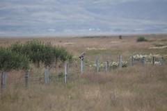 Asio flammeus - búho campestre - short-eared owl (Dani Bichero) Tags: asioflammeus búhocampestre shortearedowl owl buho islandia iceland aves strigiformes strigidae asio
