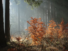 DSC00177 Herbstfarben im Frühling..... - Autumn colors in spring ..... (baerli08ww) Tags: deutschland germany rheinlandpfalz rhinelandpalatinate westerwald westerforest wald forest sonne sun sonnenstrahlen sunbeams nebel fog mist frühling spring herbstfarben autumncolors baum tree natur nikon landschaft landscape licht light