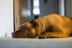 Waiting For Dad to Get Home (hcorleybarto) Tags: rescue amstaff dog dallas