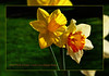 Easter Flowers... (scorpion (13)) Tags: easter daffodils flowers plant nature spring frame colors creative photoart sun garden