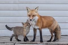Papa Fox and admirer (rdroniuk) Tags: animals wildlife mammals fox redfox foxes vulpes animaux renard renardroux suburbanfox redfoxmale malefox renardmâle foxandkit renardetrenardeau